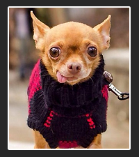 Mervin the Chihuahua on Pet Life Radio