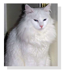 pure white Turkish Angora