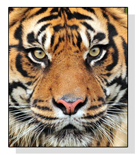 Sumatran Tigers on Pet Life Radio