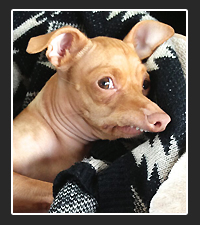 Tuna the Chiweenie on Pet Life Radio
