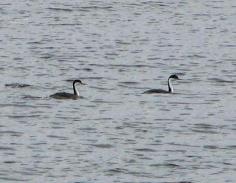 Western Grebes visit the Muskegon Channel