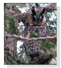 Long-eared Owl Seen by Bob and Linda