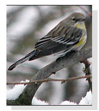 Possible Audubon's Yellow-rumped Warbler